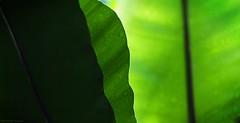 Fifty shades of green - Cinquante nuances de vert (Philippe Meisburger Photo) Tags: gradient degradé green vert nature leaf feuille tropical greenhouse rainforest heat moisture drops raindrops gouttes pluie jungle foret serre chaleur humidité bâle basel switzerland suisse europe philippe meisburger 2015 solstize monsoon