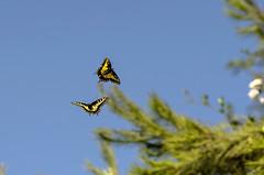 dancing butterflies (utski7) Tags: inflight butterflies butterfly sky dance grace yellow blue green motion stop arizona