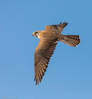 Brown Falcon Falco berigora Falconidae