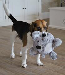 Lucky and his friend I (LuckyMeyer) Tags: beagle hund haustier jagdhund dog koala play fun