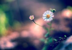 _DSC5205 (JuanCarlossony) Tags: margarita sony 50mm a58 daisyflower flower plant macro