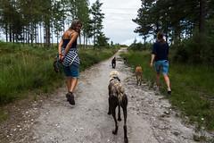 We found friends to play with (Julia Livesey) Tags: ty longdog lurcher tink salukigreyhound teddy warehamforest twink purbeckdistrict england unitedkingdom gb