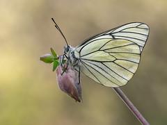 Presumida (Marco Díaz Cádiz) Tags: bokeh macro macrofotografia macronature mariposas flor focusstacking wildlife flower zuiko nature apilado microfourthirds insecto proxy closeup l macromondays