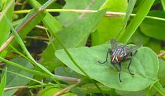 Flesh Fly (DarkOnus) Tags: pennsylvania buckscounty panasonic lumix dmcfz35 2d darkonus closeup macro flydayfriday fly day friday hfdf fdf flesh sarcophagidae sarcophaga