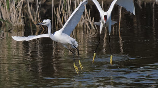 Seidenreiher / Little Egrets