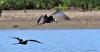 Frigatebird Magnificent 2015 04 Costa Rica Nikon (2)
