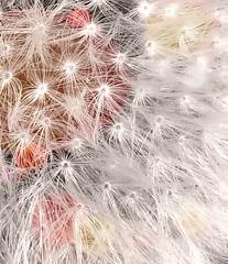 Dandelion detail (Lindsaywhimsy) Tags: dandelion detail closeup garden experimental