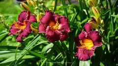DSC00629 (Aldona Induła) Tags: hoyafilters sony a6000 bezedycji daylily flower garden hemmerocallis kwiat liliowiec ndx8filter notedited ogród prostozaparatu straightfromthecamera