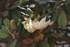 Magnolia IMG_5874 (fernandodelatorre46) Tags: sansebastiándeloeste jalisco méxico mexico magnolia magnoliaceae fantasticflower magnoliagrandiflora sierramadre