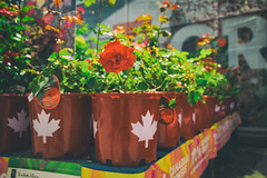 (A Great Capture) Tags: agreatcapture agc wwwagreatcapturecom adjm ash2276 ashleylduffus ald mobilejay jamesmitchell toronto on ontario canada canadian photographer northamerica summer summertime été 2017 city downtown lights urban colours colors colourful colorful eos digital dslr lens canon 70d natural outdoor outdoors vibrant cheerful vivid bright flower fleur flor plant plants bloom blossom streetphotography streetscape street calle