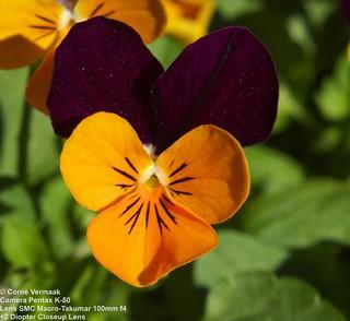 2017-07-28 Pansy (Viola tricolor) 5713