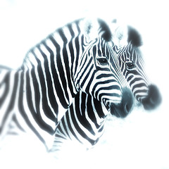 ... (a.penny) Tags: zebra quadrat high key square apenny fuji finepix x10 fujifilm