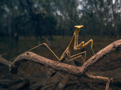 Mantis (Kristian Bell) Tags: preying mantis stick invertebrate insect australia sony kris kristian bell