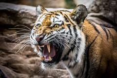Monday Mood (Tobias Neubert Photography) Tags: tiger amurtiger sibirischertiger siberiantiger nürnberg nuremberg tiergartennürnberg nurembergzoo zoo tiergarten tier animal face angry