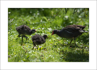The Moorhen Family from Lancashire