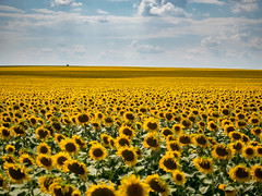 Children of God, under the sky (un2112) Tags: sunflower flowers countryside agricultural agriculture clouds yellow hungary g80 july summer
