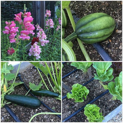 A sampling of Pogue Farms' current bounty: snapdragons, acorn squash, Romaine and Nevada lettuces, and zukes #poguefarm2017 #homefrontfarmers
