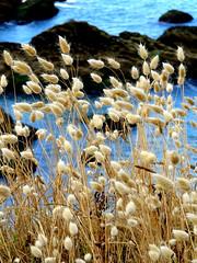 In the wind... (Esteban 86360) Tags: vent wind fleur flore flower graminé mer ocean océan atlantique pouliguen loireatlantique france guérande poulgwen
