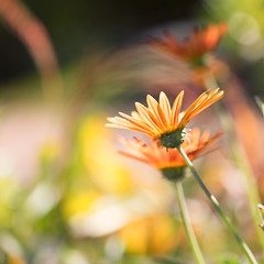 Daisies (mclcbooks) Tags: flower flowers floral macro closeup daisy daisies denverbotanicgardens colorado summer bokeh