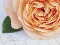 Charles Austin (Poppins' Garden) Tags: charlesaustin rose apricot