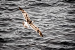 Lesser Black Backed Gull (_John Hikins) Tags: lesser black backed gull sea seagull bird animal wildlife nature nikon sigma cornwall lands end landsend flight 150600mm 150600c 150600