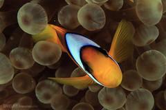 Red Sea (Aerial and Underwater Photografher) Tags: red sea dive divin nauticam mar vermelho g7x emperor egito uwl04 reef live aboard