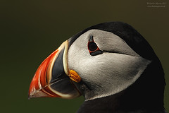 Puffin (Louise Morris (looloobey)) Tags: aq7i3477 puffin lunga may2017 boat mull headshot enormouscrop cropped