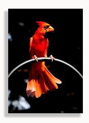 Cardinal (Dennis J2007) Tags: bird birds cardinal