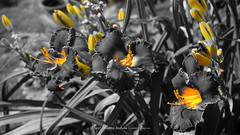 DSC00631 (Aldona Induła) Tags: hoyafilters sony a6000 bezedycji daylily flower garden hemmerocallis kwiat liliowiec ndx8filter notedited ogród prostozaparatu straightfromthecamera