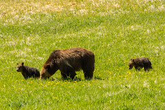 Splendid in the grass (ChicagoBob46) Tags: grizz grizzly grizzlybear bear cub cubs coy yellowstonenationalpark yellowstone nature wildlife