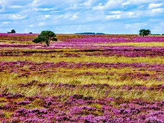 COAST TO COAST WALK 2015 (pajacksonartist) Tags: wainwright coasttocoast walk sneaton low moor north york national park stunning purple heather yorkshire england moors