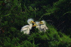 Great Egret Nestlings (Mark Schwall) Tags: ardeaalba greategret nestlings nj newjersey southernnewjersey bird wadingbird nest nikon nikkor600mmf4ais d500 manualfocus wildlife markschwallphotographycom