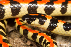 Homoroselaps lacteus - Spotted Harlequin Snake. (Tyrone Ping) Tags: homoroselaps lacteus spotted harlequin snake westerncape west coast national park venomous elapid front fang wwwtyronepingcoza tyroneping africa southafrica southafricanreptiles snakesofsouthafrica reptile beautiful wild wildherps wildanimals wilderness canon canon7d closeup close macro mt24ex 100mmmacrof28 100mm ngc