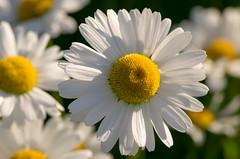 (ErrorByPixel) Tags: flower flora nature closeup 100mm macro pentax k5 errorbypixel handheld pentaxart