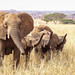 Elephants (Bob Gunderson) Tags: africa elephants mammals wildlife tanzania tarangirenationalpark safari nomadtanzania