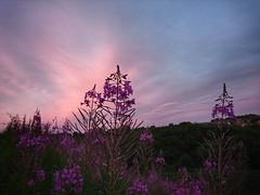 Rosebay Willowherb sunset (Sharon B Mott) Tags: rosebaywillowherb wildflowers flowers nature weeds plants sunset sky clouds july summer