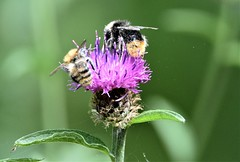 Pollination. (pstone646) Tags: bees insects animals wildlife closeup thistle flower green purple bokeh pollen fauna flora ashford kent ngc