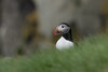 Curious Puffin (finor) Tags: sony alpha a6500 ilce6500 sal70400g2 iceland nature wildlife puffin papageientaucher ingólfshöfði