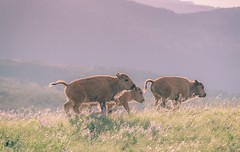 Let's have a bit of a cavort (Tracey Rennie - away) Tags: bison calves waterton alberta playing backlit animal wildflowers watertonlakesnationalpark
