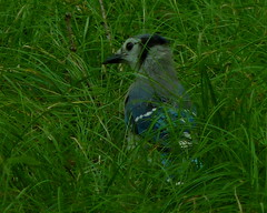 Blue Jay (Dendroica cerulea) Tags: bluejay cyanocittacristata cyanocitta corvidae corvoidea passeri passeriformes psittacopasserae eufalconimorphae aves bird jay corvids summer rutgersecologicalpreserve livingstoncampus rutgersuniversity middlesexcounty nj newjersey