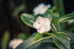 Crisp White (A & A McKee) Tags: white flower plant kew gardens london england uk d500 nikon dslr bokeh beautiful 85mm 18 green colours macro closeup beyondbokeh