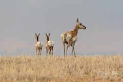 Pronghorn doe and her two fawns