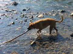 Bella and a stick (simonov) Tags: bella dog hund chien 狗 σκύλοσ madra cane 犬 perro 개 سگ собака الكلب germansheprador truckee river reno nv