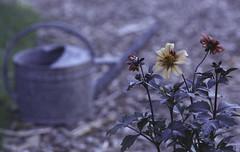 In my garden. (feedmyhungryeye) Tags: rollfilmweek rollfimweek day2 fuji fujicolor200 expired nikon 35mm fm2 june garden flowers polapals
