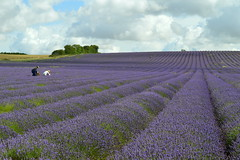 Pickers (dhcomet) Tags: hitchin ickleford herts lavender farm hertfordshire row horizon purple mauve flower
