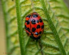 7DWF - Sunday - Fauna (Chris Scopes) Tags: 7dwf sundayfauna ladybird insects