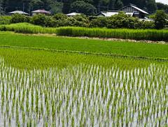 Japan Saitama Rice  Field 2 (wazo3) Tags: japan saitama