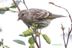 IMG_7587 cassins finch (starc283) Tags: flickr flicker finch cassinsfinch bird birding birds wildlife starc283 birder canon canon7d