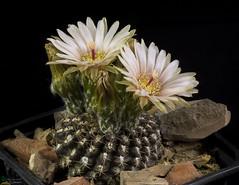 Neroporteria odieri (clement_peiffer) Tags: neoporteria odieri flowerscolors d7100 105mm cactaceae succulent peiffer clement nikon cactus fleurs flower spines epines kaktusi кактуси