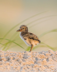 American Oystercatcher Chick (nikunj.m.patel) Tags: oystercatcher american americanoystercatcher chick summer wildlife birds bird avian photography nature outdoor beach shorebird shore ocean morning